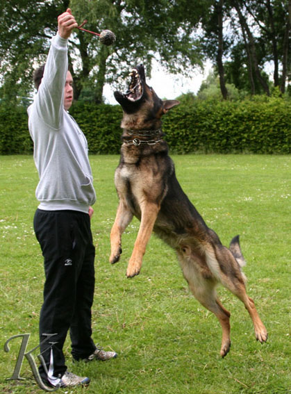 personal protection dog jumping