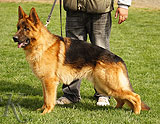 German Shepherd female Bruna