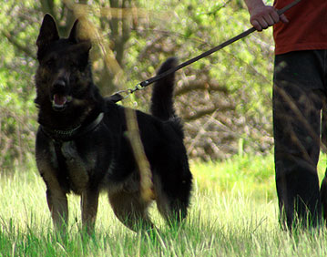 personal protection dog training